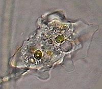 Pseudopodi for Piante classificazioni inferiori successive